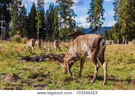 Deers in reservation
