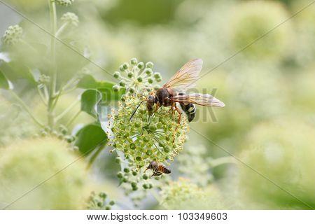 Cicada Killer & Honeybee