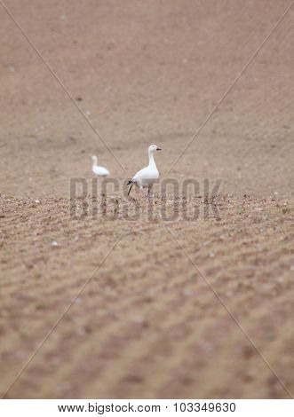 Lonely Snow Geese