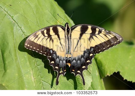Wrinkled Swallowtail