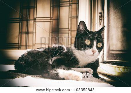 European Black And White Cat