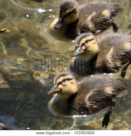 Curious Ducklings