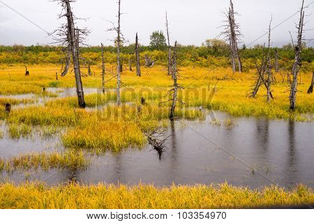 Dead Trees Standing Watery Wet Marsh Wetland Turnagain Arm Alaska