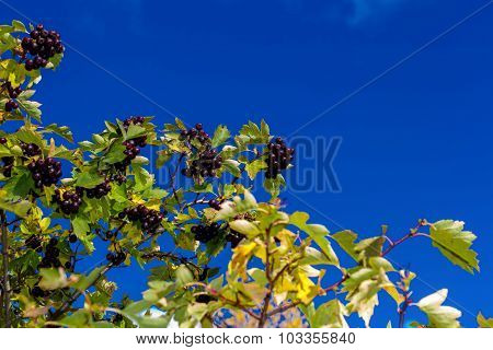 the black branch of Rowan