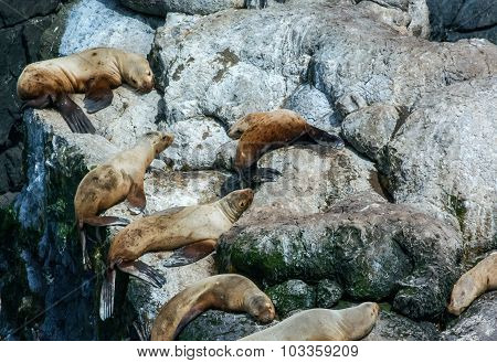Sunning Sealions On White Rocks