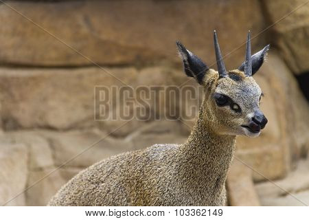 Klipspringer Antelope (oreotragus Oreotragus)
