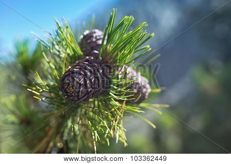 Three Cones At A Green Branch Of Siberian Cedar
