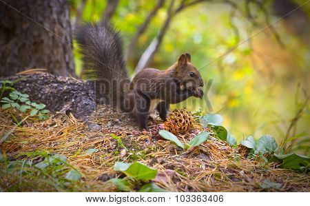Squirrel Eating Pine Nuts On The Forest
