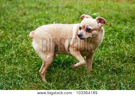 Toy Terrier On The Summer Green Background