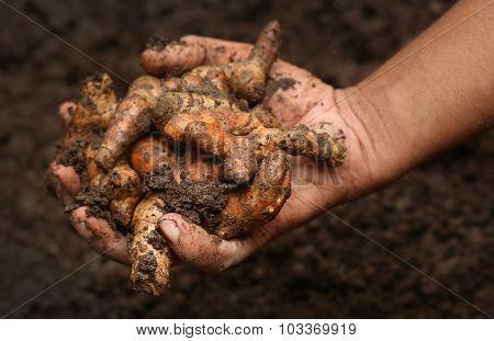 Newly Harvested Turmeric