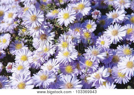 Violet asters flowers