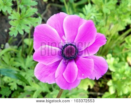 Ramat Gan Park Pink Crown Anemone Flower 2011