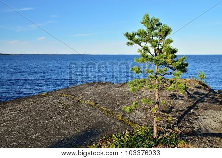 Lone Pine Tree On A Rock. Karelia, Russia