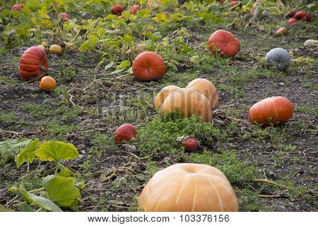 Variety Of Pumpkins In A Field