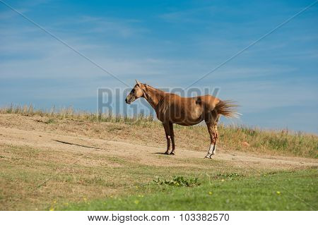 Akhal-teke Horse In Dry Pasture Under The Heating Sun