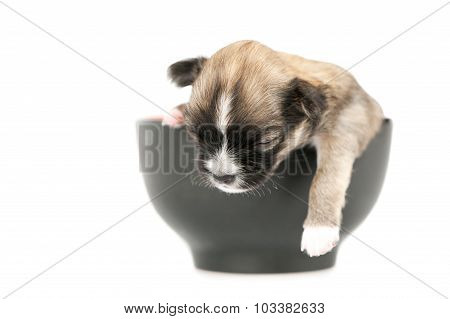 Chihuahua puppy sleeping inside  black cup
