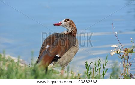 Egyptian goose near water