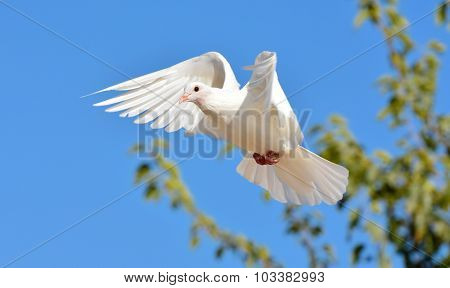 White pigeon flying with open wings.