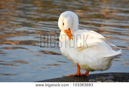 White duck is standing near lake