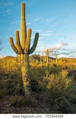 Sunlight Saguaro