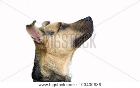 Curious Dog Looking Up Isolated On White