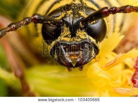Close Up Portrait Of Black And Yellow Locust Borer