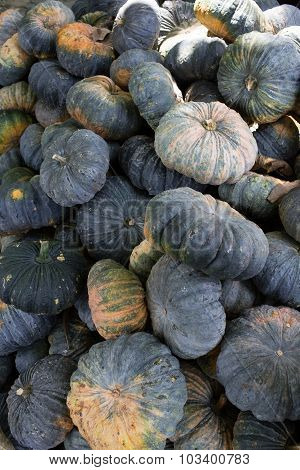 Green Pumpkin Vegetable Of Agriculture Harvesting