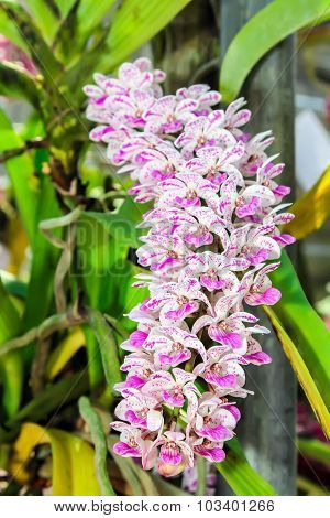 Pink and white  Rhynchostylis gigantea Orchid Flowers.