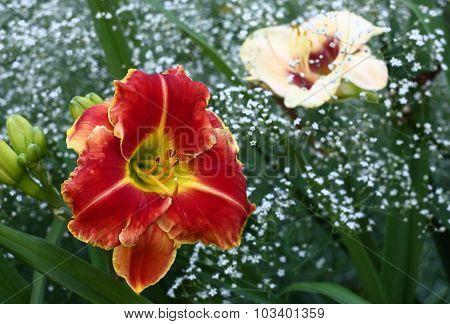 Contrast flowers of a hemerocallis.