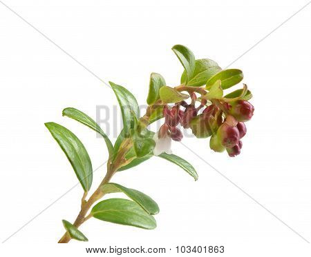 Blooming Branch Of Cowberry