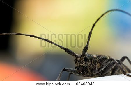Longhorn Beetle Portrait With Red, Yellow And Blue Background