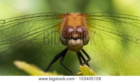 Portrait Of Dragonfly With Wings Extending To Sides