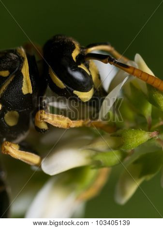 Wasp Witht Black Eyes Extracts Pollen From Flower