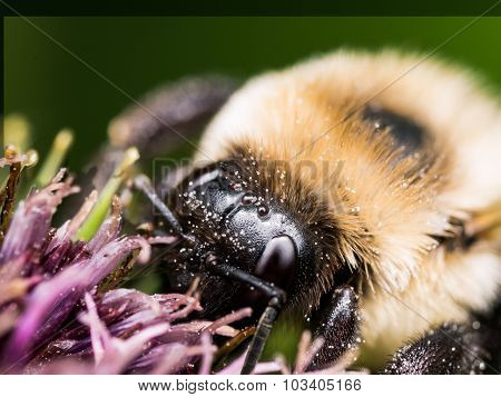 Close Up Of Bumble Bee On Purple Flower