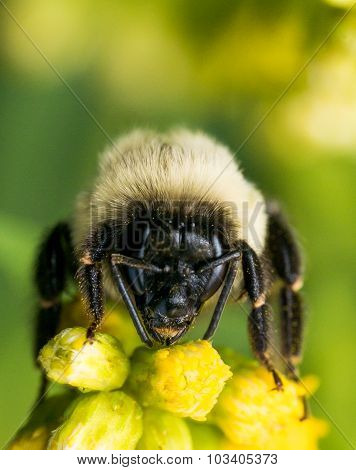 Bumble Bee With Bright Golden Fur On Yellow Flower
