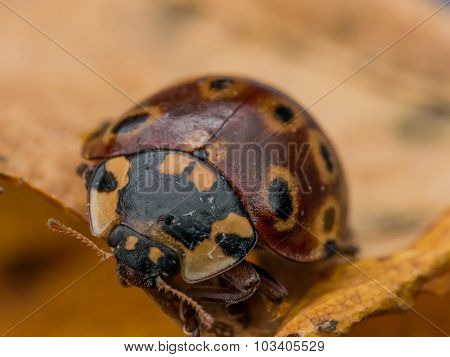 Dark Red Ladybug On Yellow Leaf