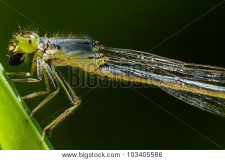 Green Damselfly Eats Bug In Profile View