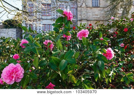 Blossoming Camellia Bush With Pink Flowers.