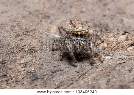 Jumping Spider Blends With Environment