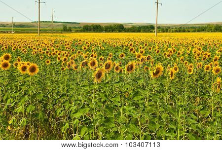 Warm Summer Day On The Endless Sunflower Field