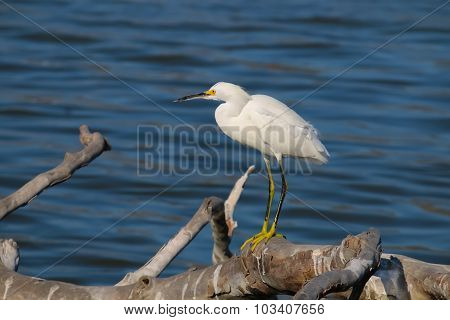The Snowy Egret On The Driftwood At Malibu Lagoon