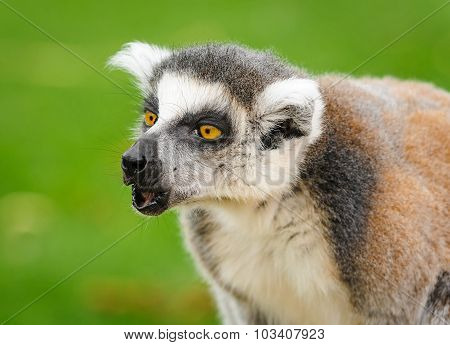 Portrait Of Lemur Katta