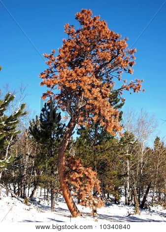 Dying Pine