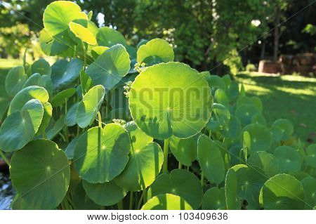 Natural Fresh Water Pennywort Or Centella Asiatica Leaf.