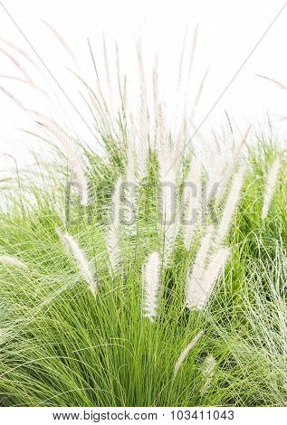 Imperata Cylindrica Beauv On White