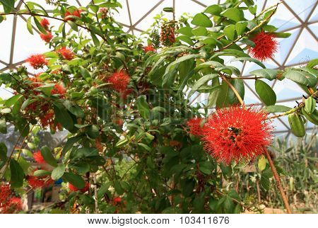 Red Flower Bush willow on tree, (Combretum erythrophyllum