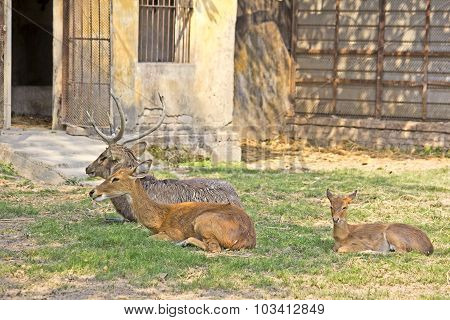 Family Of Sila Deers