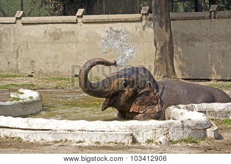 Bathing Elephant Cub