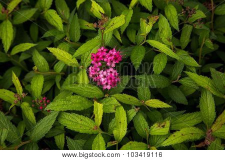 Pink Clove Flowers