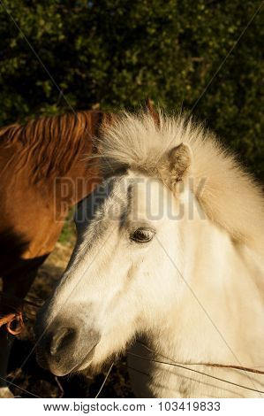 Poni And Half Of A Horse
